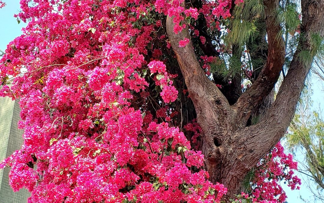 Bougainvillea growing on a tree